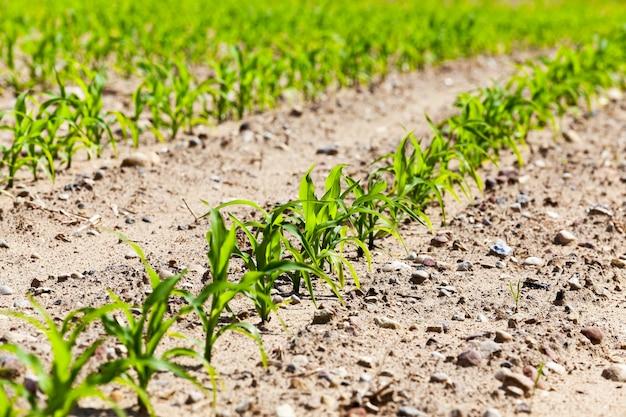 Pole zielonej kukurydzy - pole uprawne, na którym uprawia się zboża - kukurydza. wiosna. zbliżenie