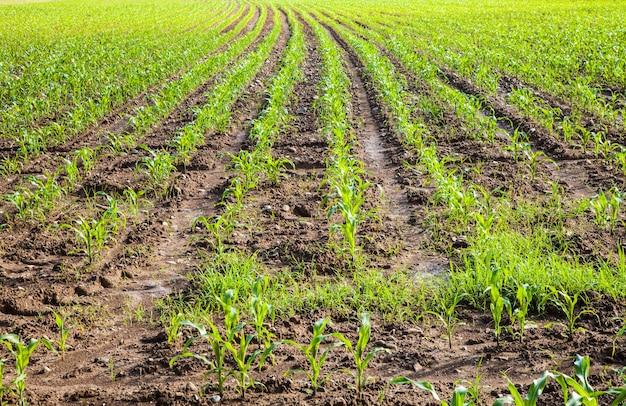 Pole zielonej kukurydzy w sezonie wiosennym