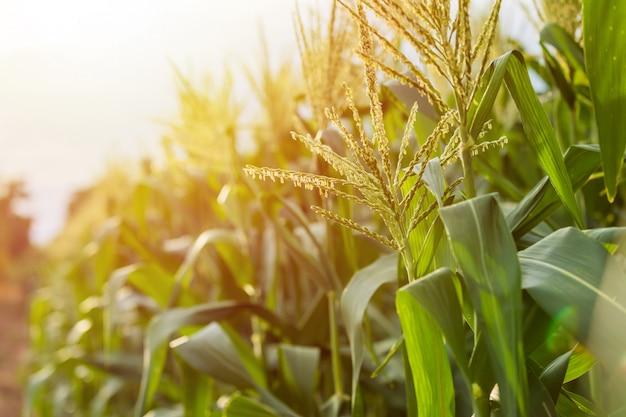 Pole zielonej kukurydzy