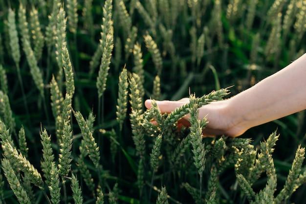 Pole zielonej pszenicy i ręczne sortowanie zbóż. piękno i zdrowie. pielęgnacja twarzy i ciała. składniki w przemyśle kosmetycznym. pielęgnacja włosów kosmetyki naturalne. salony piękności. organiczny.