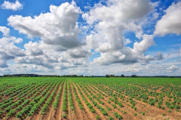 Pole ziemniaków i zachmurzone błękitne niebo. pole ziemniaków z zielonymi pędami ziemniaków. kompozycja natury