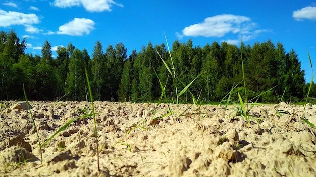 Pole ziemniaków na skraju lasu