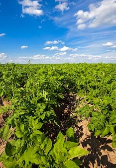 Pole ziemniaków - pole uprawne, na którym rosną ziemniaki. lato w roku