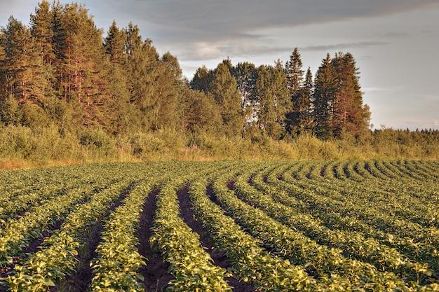 Pole ziemniaków w lesie przed zachodem słońca.