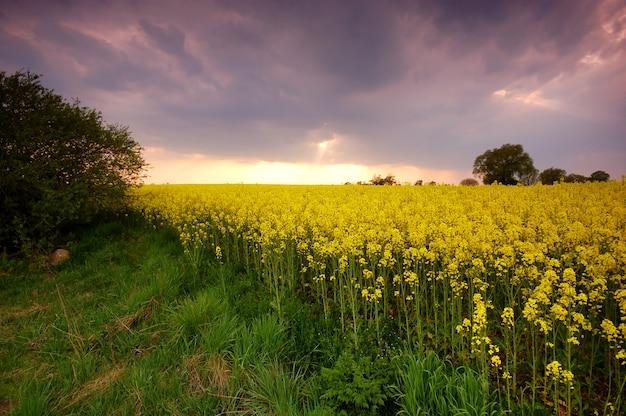 Pole żółte flores o zachodzie słońca