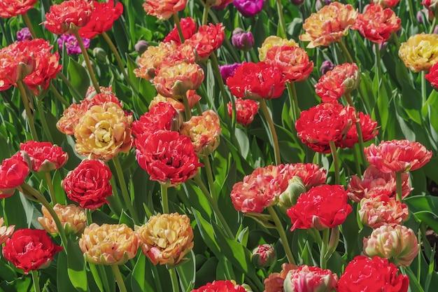Pole żółte i czerwone tulipany. kwiat tło. krajobraz letniego ogrodu