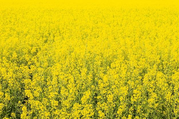 Pole żółte kwiaty. uprawy rolne. jasny słoneczny letni dzień.