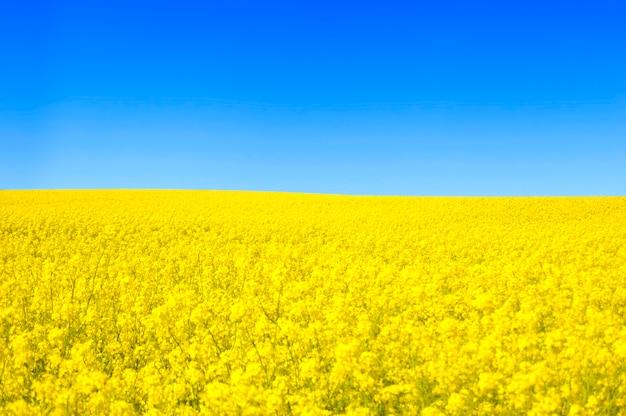 Pole żółte kwiaty