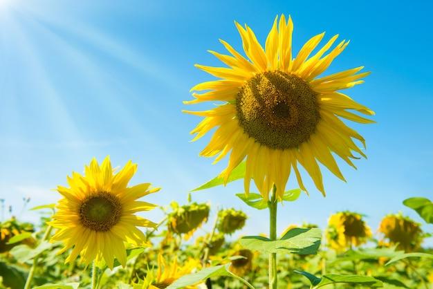 Pole żółte słoneczniki z zielonymi liśćmi pod błękitnym słonecznym niebem z świecącym słońcem