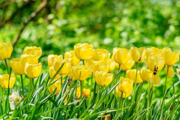 Pole żółte tulipany. kwiat tło. krajobraz letniego ogrodu
