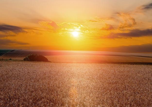 Pole żółtej pszenicy i chmura na niebie