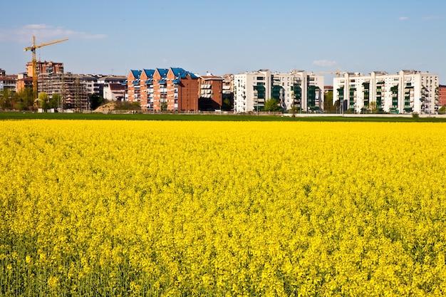 Pole żółtych kwiatów w sezonie wiosennym blisko granicy miasta