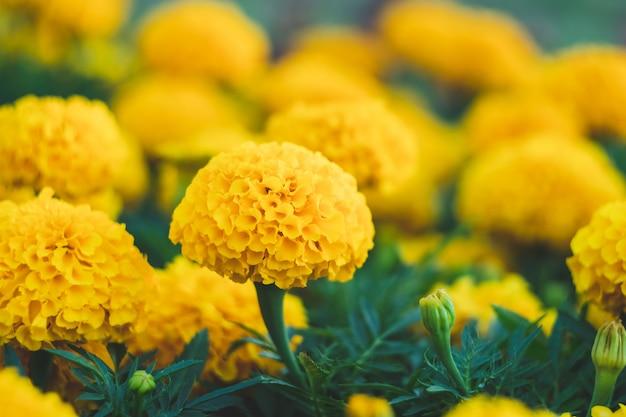 Pole żółtych nagietków, jasne kwiaty w ogrodzie. nagietek afrykański