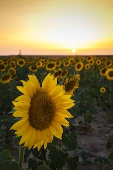 Pole żółtych słoneczników