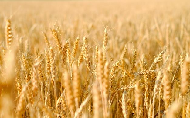 Pole żyta o zachodzie słońca, dojrzałe żyto, zbiory żyta na polu