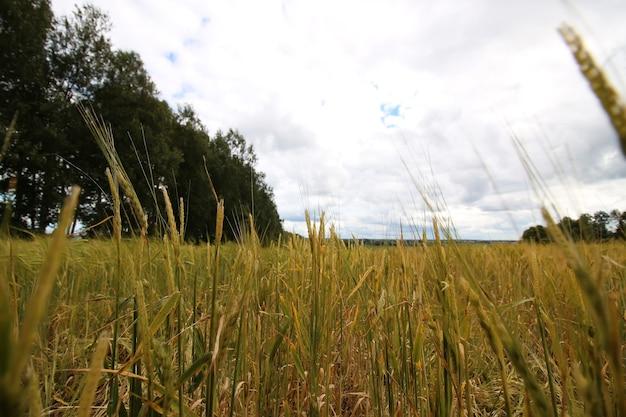 Pole żyta zbóż