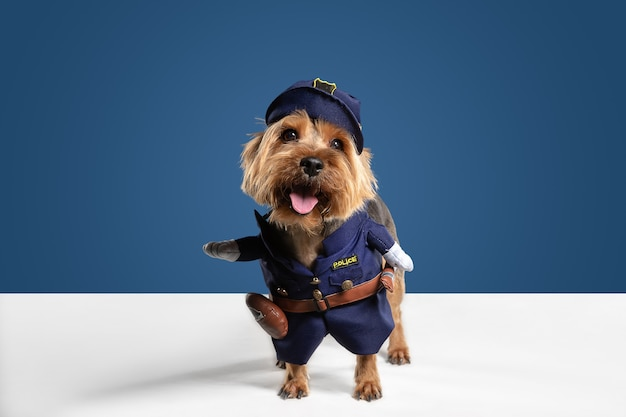 Policjant, inspektor. pies yorkshire terrier pozuje. śliczny figlarny brązowy czarny piesek lub zwierzak grający na niebieskim tle studia. pojęcie ruchu, akcji, ruchu, miłości do zwierząt domowych. wygląda na zachwyconego, zabawnego.