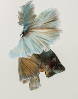 Półksiężycowa ryba betta bojownik syjamski uchwyć ruch ryb