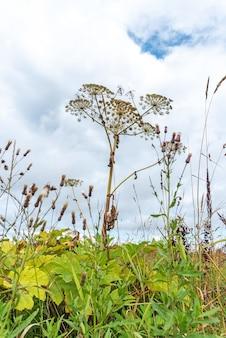 Polne kwiaty i chwasty rosnące na plantacji lub zaniedbanym polu. zieleń heracleum, bioróżnorodność obszarów wiejskich i wiejskich. różnorodność wiejskiej roślinności, bujne zielone krzewy i gałązki na niebie.