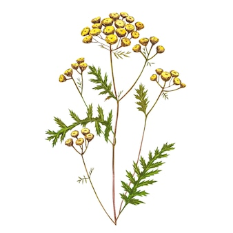 Polne kwiaty lecznicze wrotyczu akwarela ilustracje. odosobniony kwiat, zielnik roślina. dokładna ilustracja botaniczna.