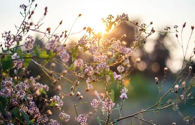 Polne kwiaty o zachodzie słońca