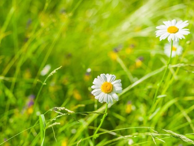 Polne kwiaty rumianku na powierzchni zielonej trawie w słoneczny letni dzień