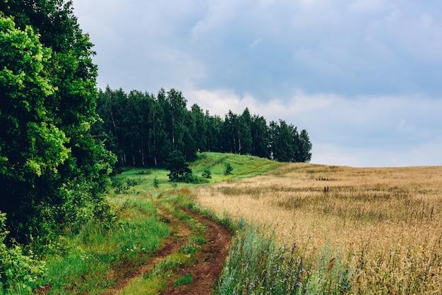Polnej drodze między lasem brzozowym a polem pszenicy