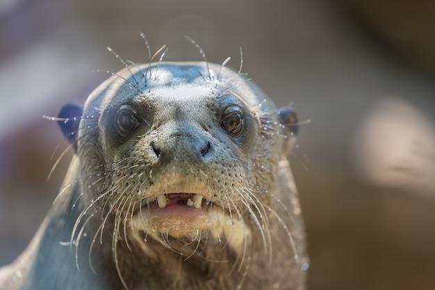 Północnej foki lub kota morskiego callorhinus ursinus ssak płetwonogi z bliska portret