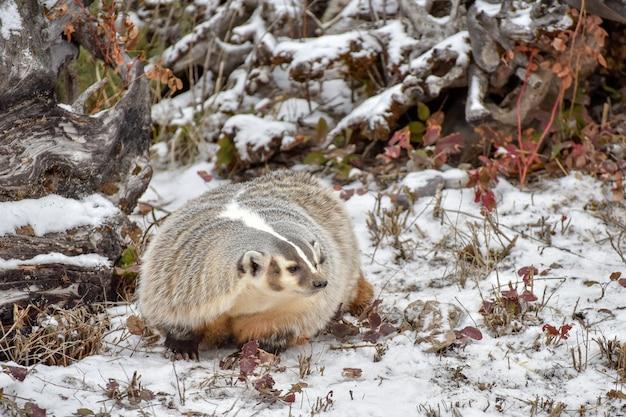 Północnoamerykański borsuk w śniegu 1
