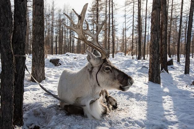 Północny jeleń domowy siedzi na śniegu