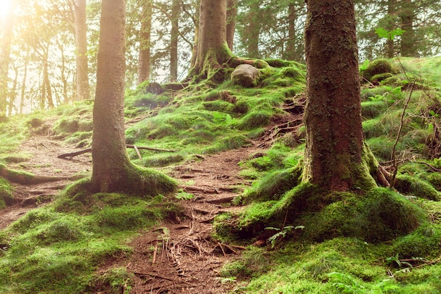 Północny las z zielonym mchem