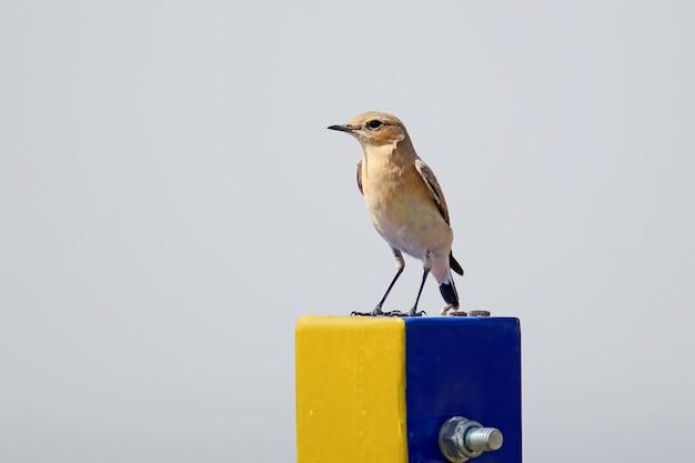 Północny wheatear lub wheatear (oenanthe oenanthe) stoi na metalowej kolumnie żółto-niebieskiego koloru na tle nieba