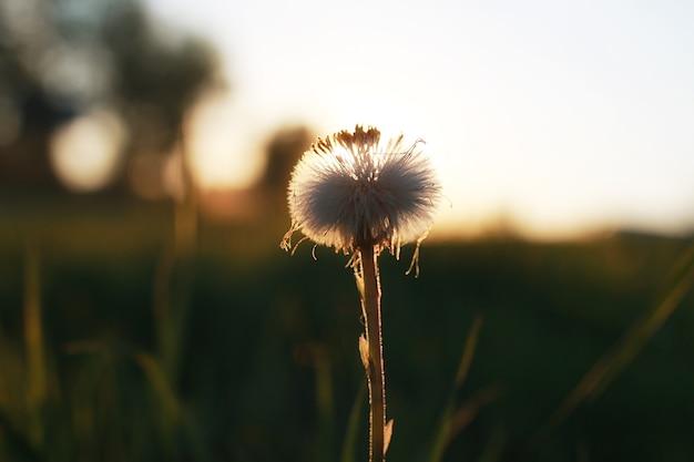 Polny kwiat na zielonej łące w wiosenny wieczór godzina zachodu słońca