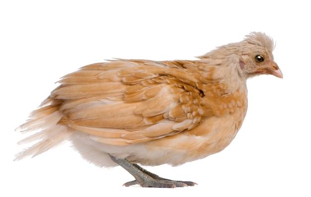 Polski kurczak, 36 dni, stojący
