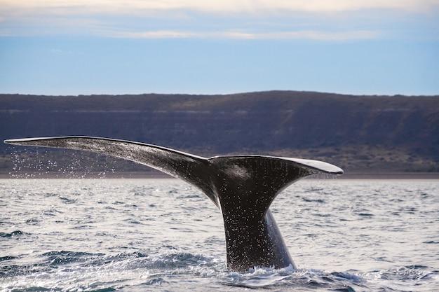 Południowe ogon wieloryba w oceanie w pobliżu wybrzeża.