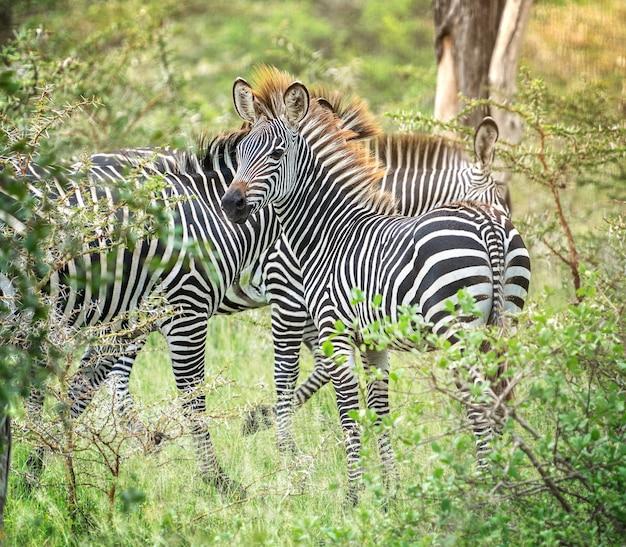 Południowoafrykańskie, pełne wdzięku zebry w czarno-białe paski, stojące wśród zielonych krzewów sawanny