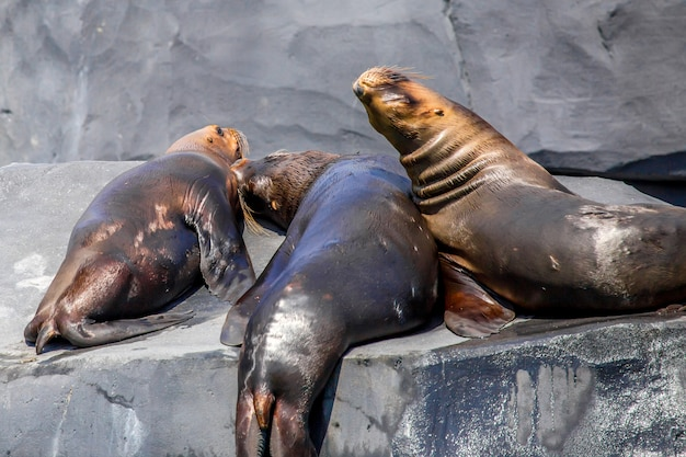 Południowoamerykański lew morski lub otaria flavescens