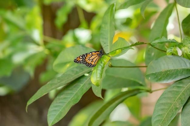 Południowoamerykański monarcha z gatunku danaus erippus