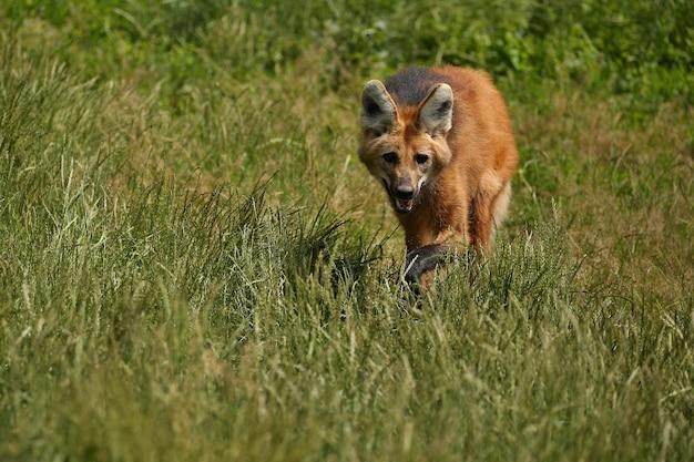 Południowoamerykański wilk grzywiasty w naturalnym środowisku
