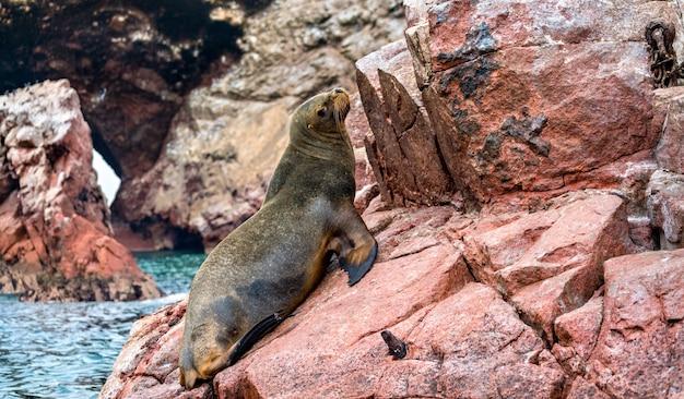 Południowoamerykańskie lwy morskie lub wilki morskie odpoczywają na kamieniach na wyspach ballestas w peru