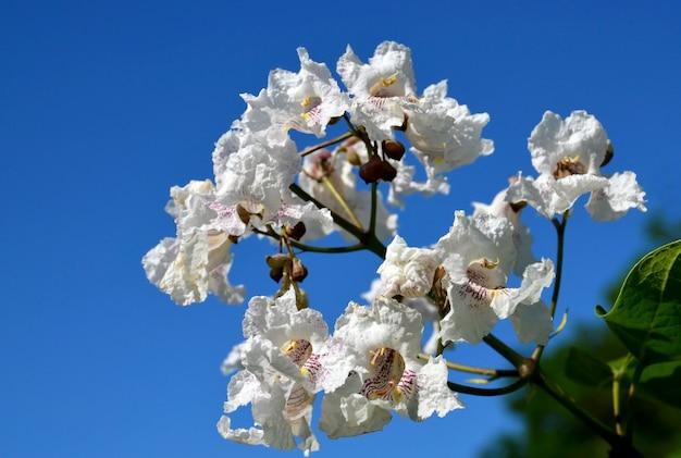 Południowy surmia drzewo kwitnie na niebieskiego nieba tle wyrastać się surmia bignonioides powszechnie dzwonił catawba lub indianina fasoli drzewa odbitkowa przestrzeń selekcyjna ostrość.