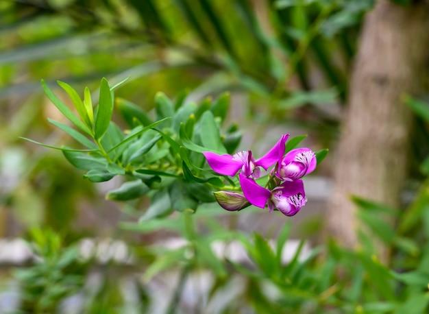 Polygala myrtifolia. piękny jasnoróżowy kwiat. ogród botaniczny