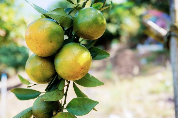 Pomarańcza na drzewie w gospodarstwie.