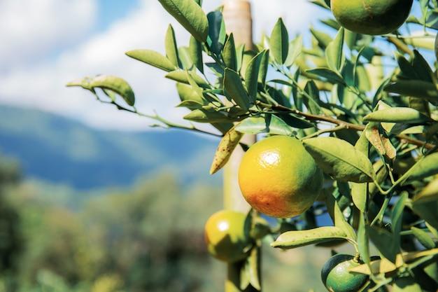 Pomarańcze na drzewie przy niebem.