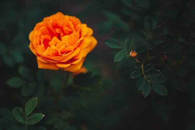 Pomarańcze ogród wzrastał na zielonej scenie