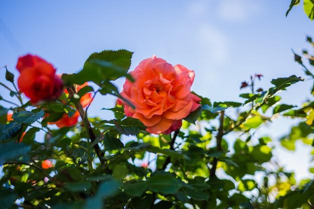 Pomarańcze róża w krzaku niebo