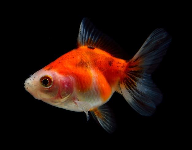 Pomarańcze ryba na czarnym tle