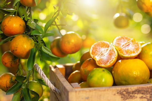 Pomarańcze umieszczone do dekoracji i drzew pomarańczowych z owocami w słońcu.