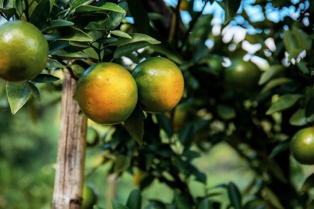 Pomarańcze w gospodarstwie rolnym na wsi.