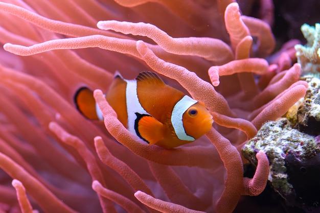 Pomarańczowa błazenek amphiprion percula pływa wśród koralowców w akwarium morskim.